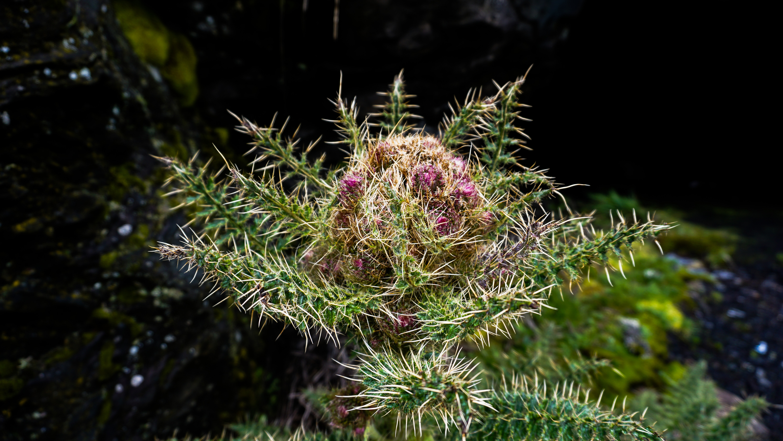キリマンジャロ登山中に見かけた高山植物